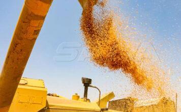 حصاد محصول القمح إبطع
