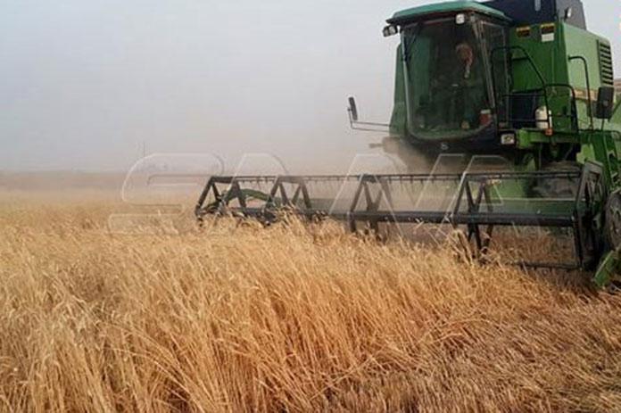 حصاد القمح ريف الحسكة